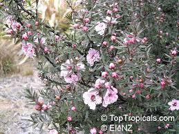 leptospermum scoparium manuka new zealand tea tree toptropicals