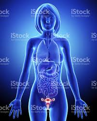 Pictures Of The Human Body Internal Organs Human Internal Organ Pictures Images And Stock Photos Istock