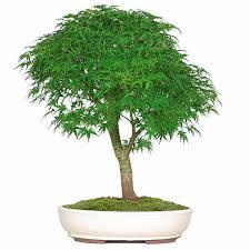 the japanese maple bonsai tree from nursery tree wholesalers is