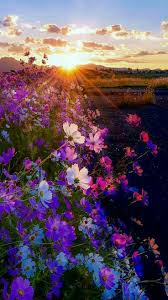 Beautiful Flower Pictures Best 25 Cosmos Flowers Ideas On Pinterest Cosmos Flower