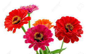 Zinnia Flowers Bouquet Of Pink Red And Orange Zinnia Flowers Isolated On White