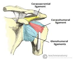 Tendons In The Shoulder Diagram The Shoulder Joint Structure Movement Teachmeanatomy