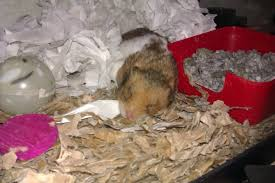 Hamster Bed 3 Lazy Hamster Gallery Hh Forum Hamster Hideout Forum