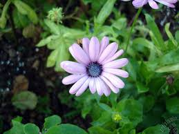 pink color trailing african daisy freeway daisy blue eyed daisy