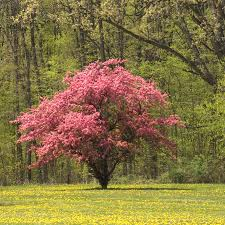 pink flowering dogwood tree for sale fast growing trees