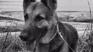 The Blind Man St George Utah Blind Man U0027s Service Dog Attacked By U0027fake U0027 Service Dog Fox13now Com
