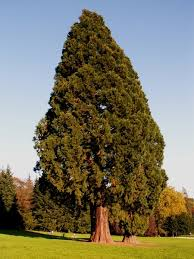 Real Topiary Trees For Sale - california trees for sale the tree center