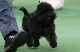 affenpinscher terrier mix affenpinscher puppies information pictures facts behavior