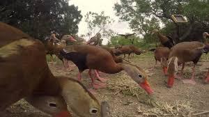 backyard birding black bellied whistler ducks youtube