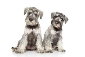 Cute Dogs Wallpapers by Miniature Schnauzer Cute Dogs Wallpapers