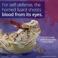 Horny Toad Meme - horned lizards will squirt you with blood from its eyes