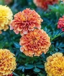 flower plants garden ready flower plants impatiens lisianthus petunias