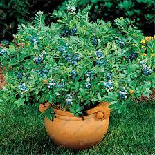 mirtillo in vaso 50 pz borsa americano nano mirtillo semi commestibili in vaso
