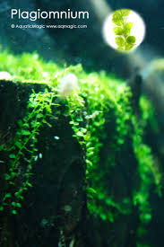 Aquascape Moss Live Plagiomnium Affine Hardy Liverwort Plant Easy To Grow In