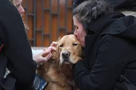 Comfort Golden Golden Retriever Comfort Dogs Four Legged Healers Return To