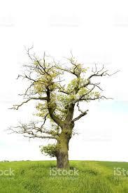 single half dead oak tree on green meadow stock photo