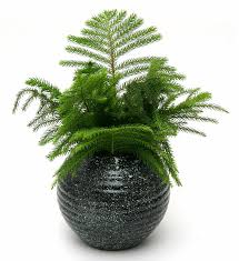 how to care for norfolk pine to keep it healthy and evergreen