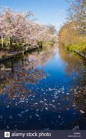 cherry blossom trees reflected in a calm and peaceful stream at