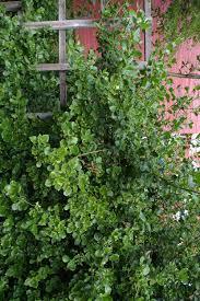 native climbing plants euonymus forunei var radicans klätterbenved ulla molin u0027s