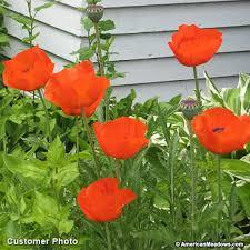 poppy seeds papaver orientale american
