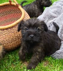 affenpinscher for sale near me care tzu breed information and pictures on puppyfinder com