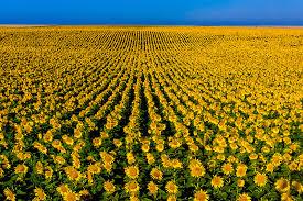 Kansas travel asia images Sunflower fields grant near the colorado state line near jpg