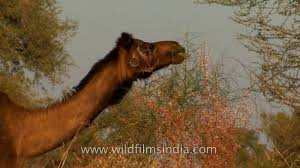 thar desert animals high foraging single humped indian camel ship of the thar desert