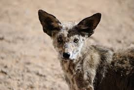 Can Coyotes See Red Light Coyote With Mange U2013 What Is It Foremost Coyote Hunting