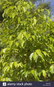 ficus benjamina bejamina ficus fig leaf leaves garden ornamental