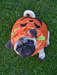 pet halloween background our pug boo pumpkin costume boo the pug dapuglet flickr