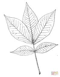 shagbark hickory leaf coloring page free printable coloring pages
