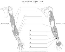 muscles of upper limb unlabeled muscles pinterest muscles