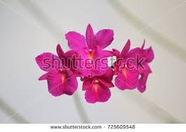 jamaica flower jamaica flower stock images royalty free images vectors
