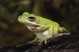 care and feeding of pet green tree frogs