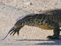 nile monitor lizards invading florida business insider