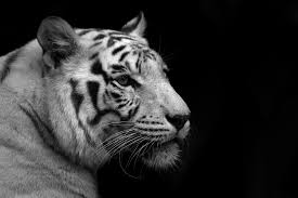 231 tiger hd wallpapers backgrounds wallpaper abyss page 7