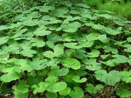 Green Plants File Green Big Leaves Plants Jpg Wikimedia Commons