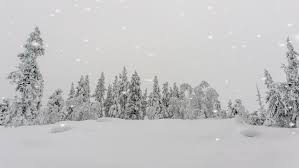 snow falling on a winter landscape and a snow covered pine forest