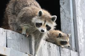 raccoons how to identify and get rid of raccoons in the garden
