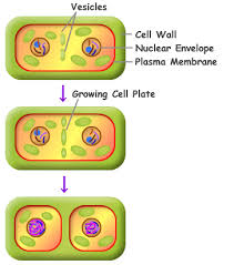 mitosis introduction to mitosis mitosis explained with diagram