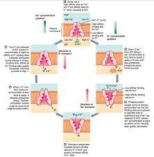 simple u0026 facilitated diffusion osmosis u2013 across plasma membranes