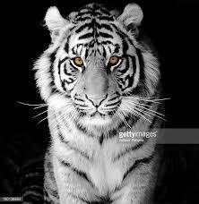 white tiger ストックフォトと画像 getty images
