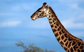 amazing african animals the tallest amazing giraffe