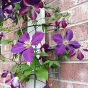 Downspout Trellis Clematis Clematis Viticella U0027walenburg U0027 In The Clematis Database
