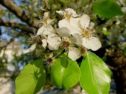 plantfiles pictures evergreen pear evergreen pear