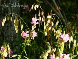 clay and limestone wildflower wednesday false dragonhead