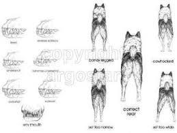 belgian shepherd standard illustrated breed standards technical dog art for judges