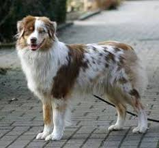australian shepherd colors reminds me of when angel was able to spend her last christmas in