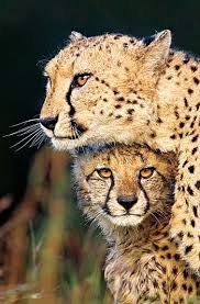 affectionate cheetahs wallpapers 147 best cheetahs images on pinterest the o u0027jays we and earth