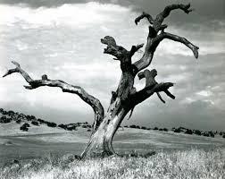 dead oak tree snelling 1938 o keeffe oak